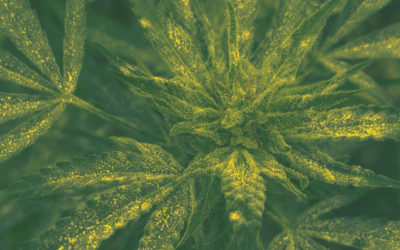 MustGrow Obtains Exclusive Rights of Streptomyces Bio-Fungicide Product Used to Treat Powdery Mildew in Cannabis Production