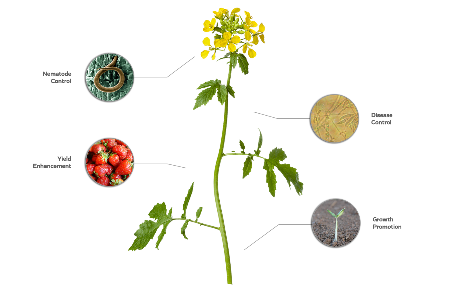 An image of a mustard plant showcases ways in which MustGrow's products can help to increase the health and yield of crop growth.