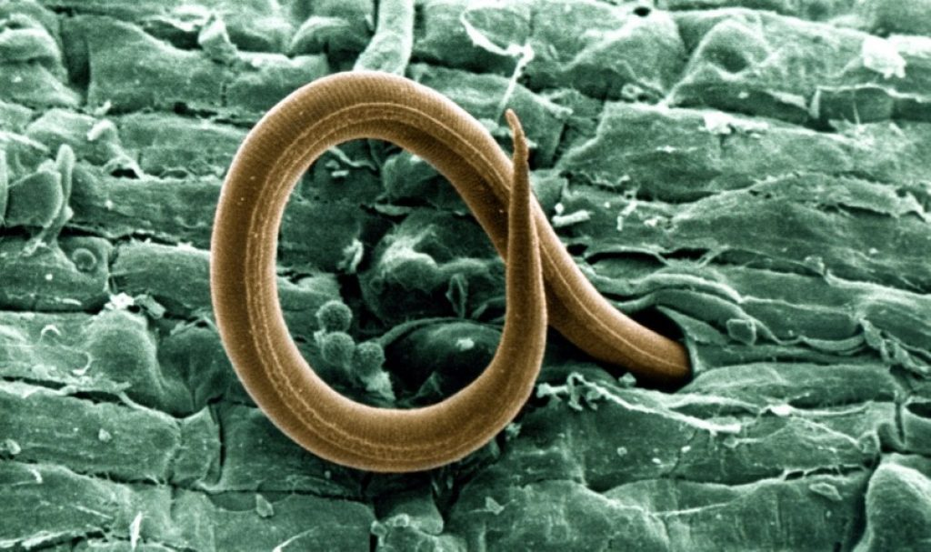 An image of a nematodes problem